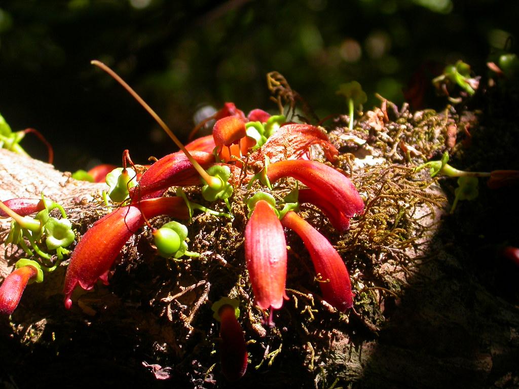 Tree fuchsia or notsung (halleria lucida) flowers and fruits